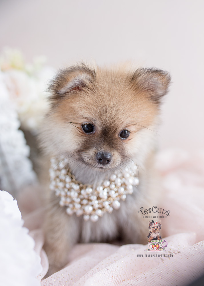 Pomeranian Puppy #146 Teacup Puppies