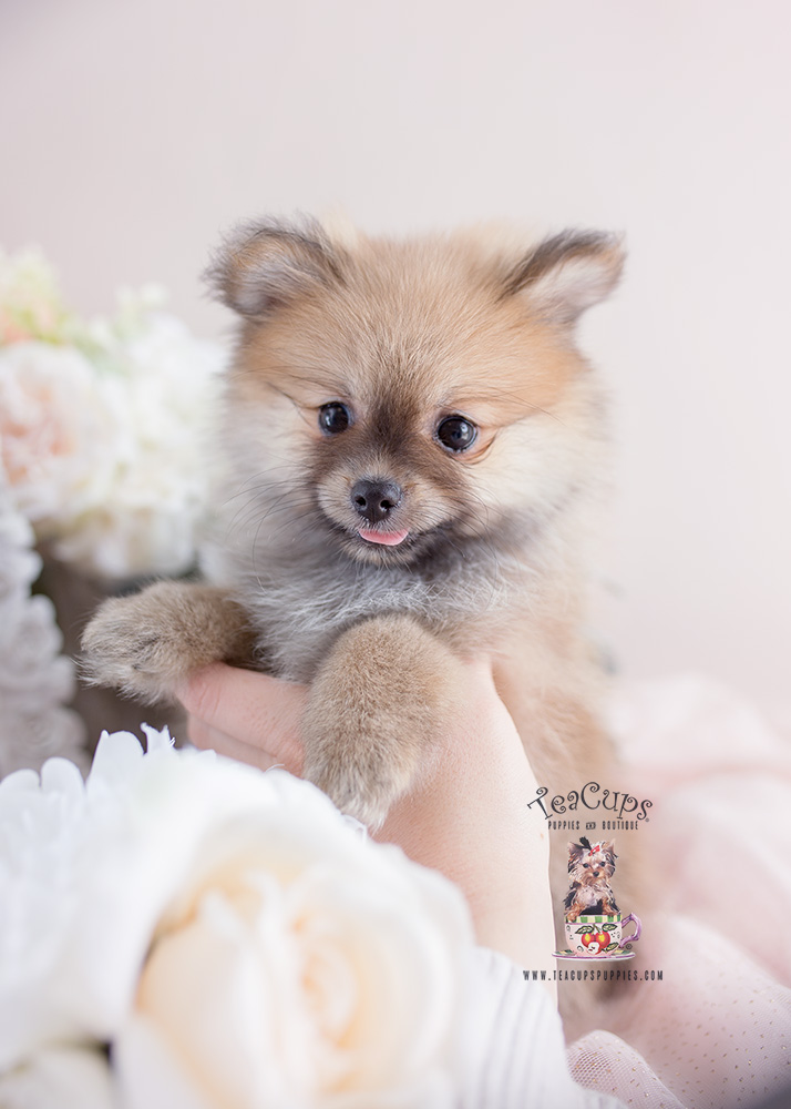 Miami Pomeranians Teacups Puppies Amp Boutique