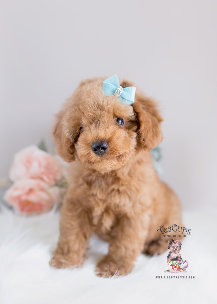 Puppy For Sale Teacup Puppies #154 Toy Poodle