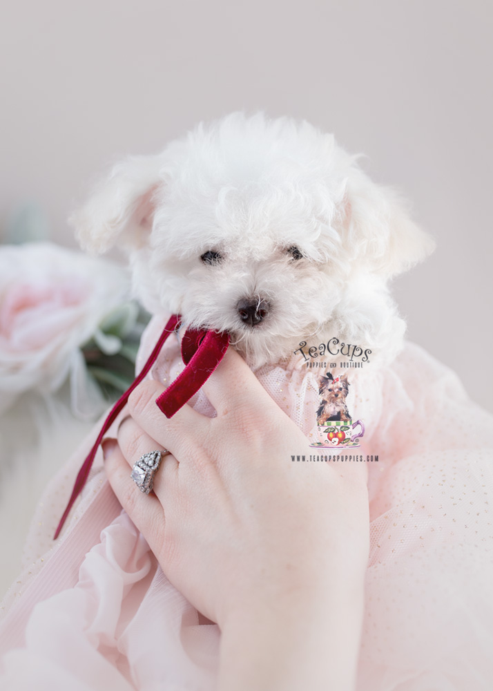 Puppy For Sale Teacup Puppies #155 Toy Poodle