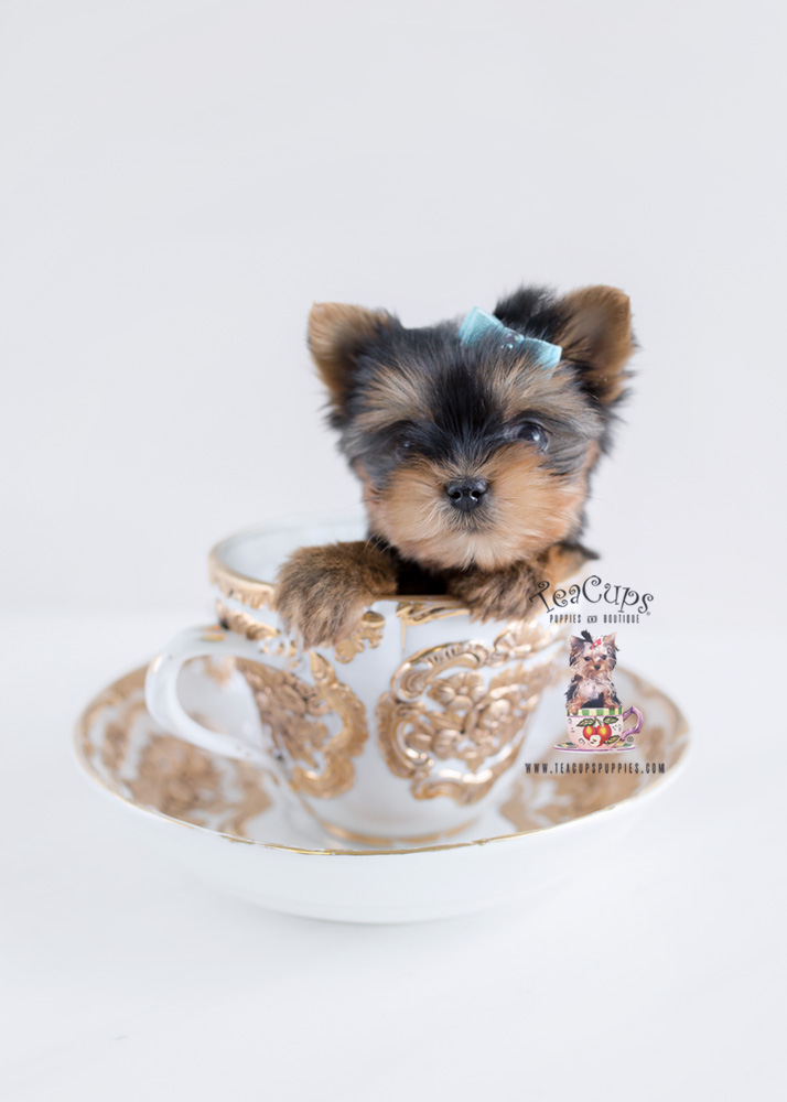Teacup pups, loved by celebrities, often begin life in ...
