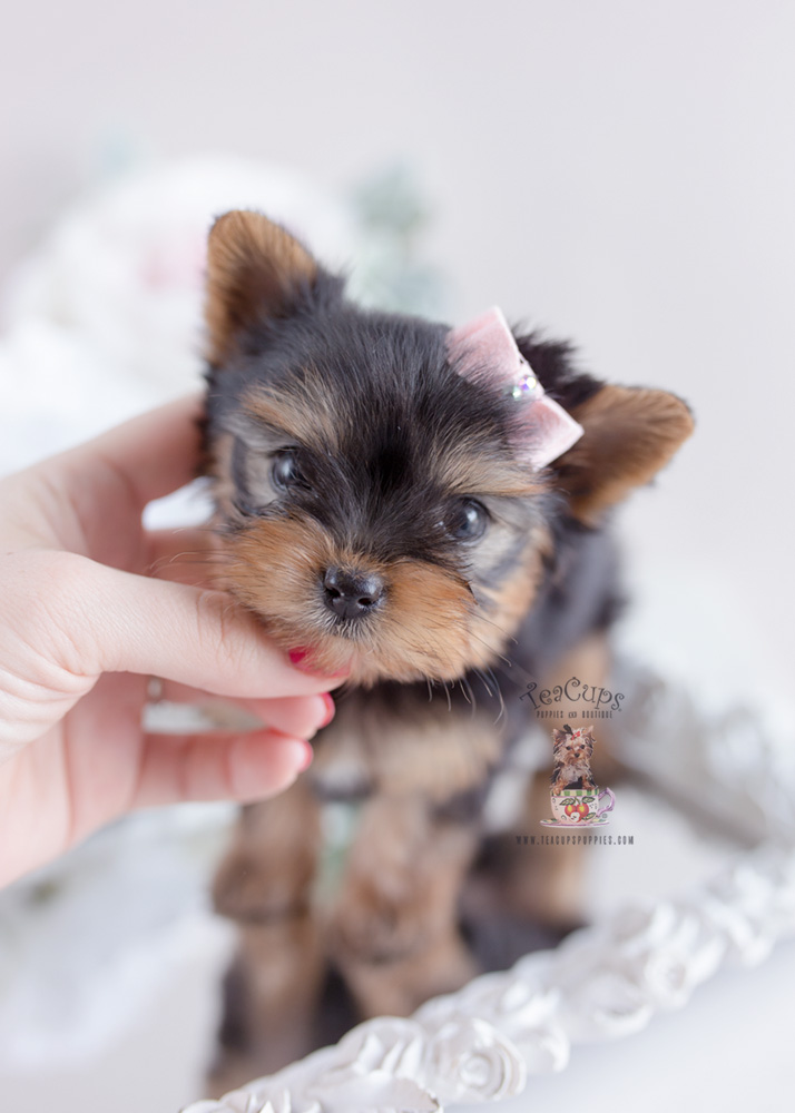 Puppy For Sale Teacup Puppies #163 Yorkie