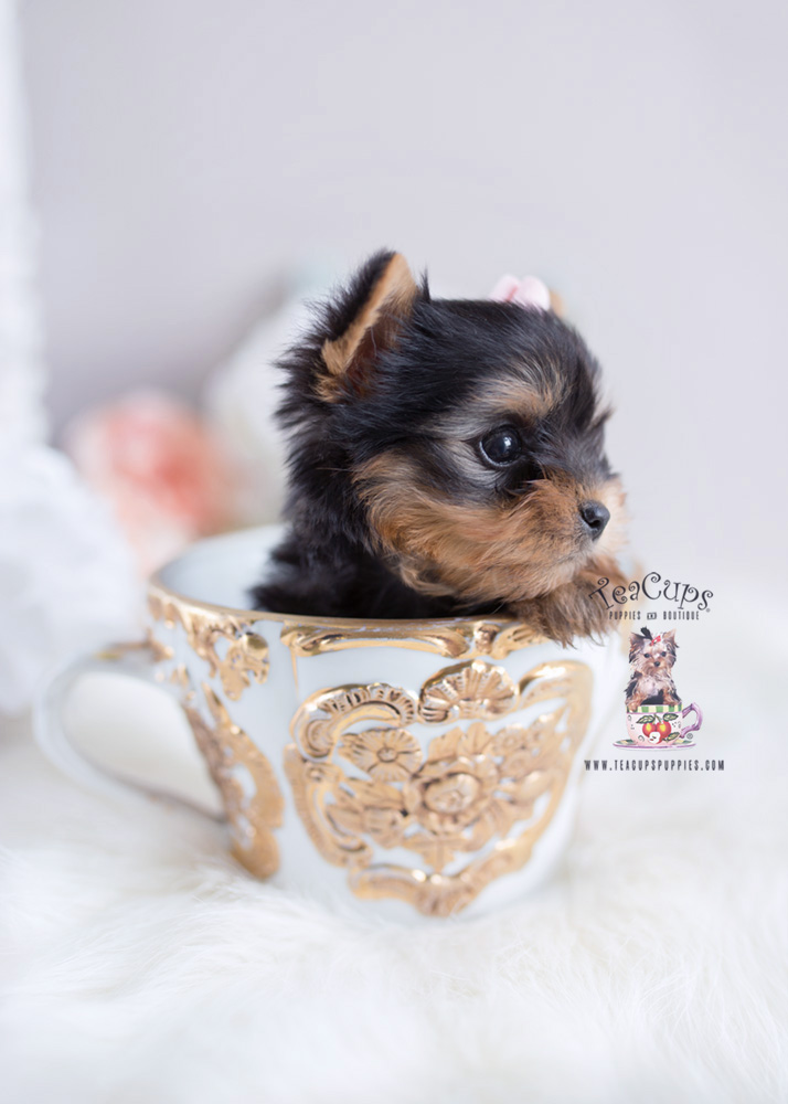 Precious Teacup Yorkie Puppies For Sale Teacups Puppies