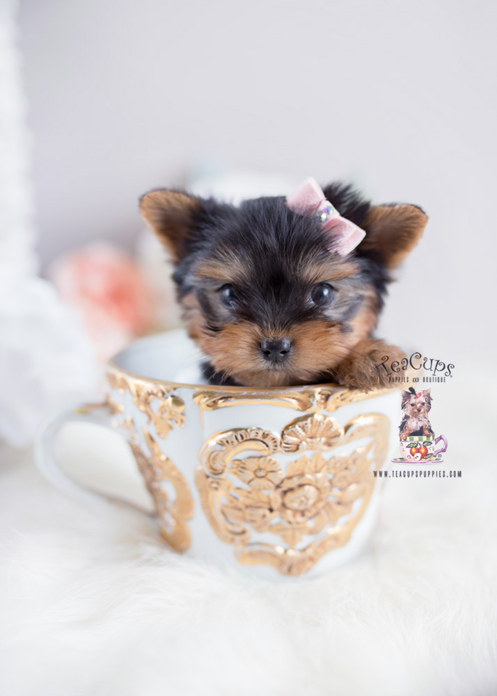 Yorkie Puppies For Sale by Teacup Puppies