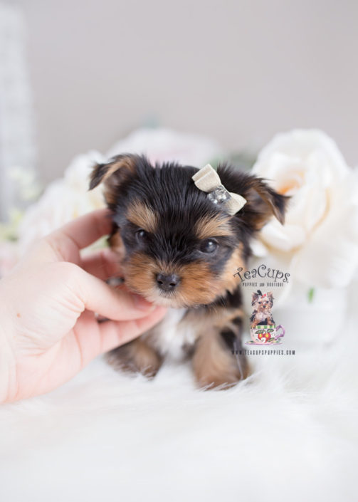 Sale toy yorkies