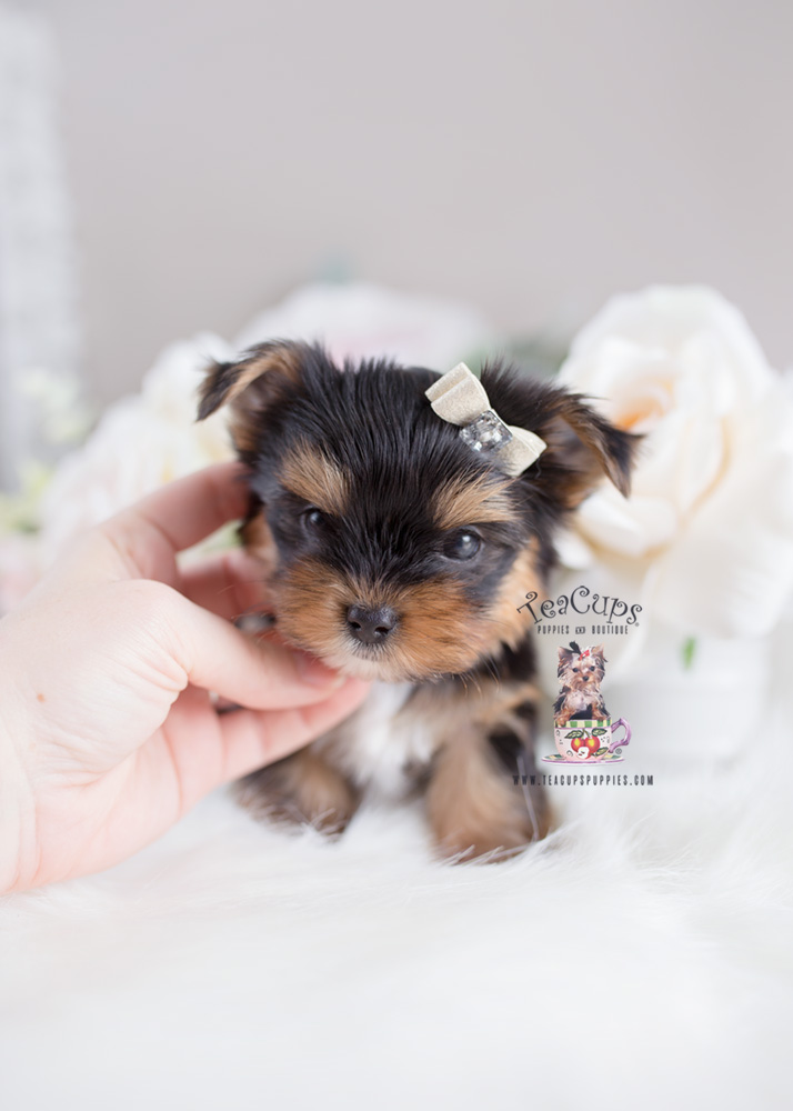 Teacup Puppies and Yorkies For Sale