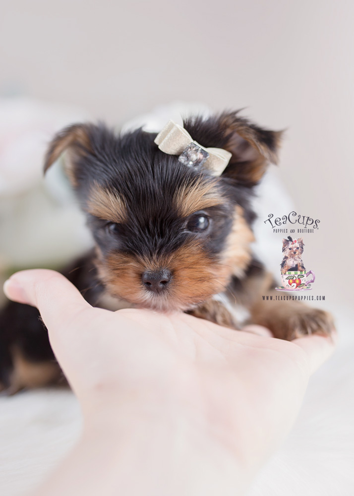 Yorkie Puppy For Sale by Teacup Puppies