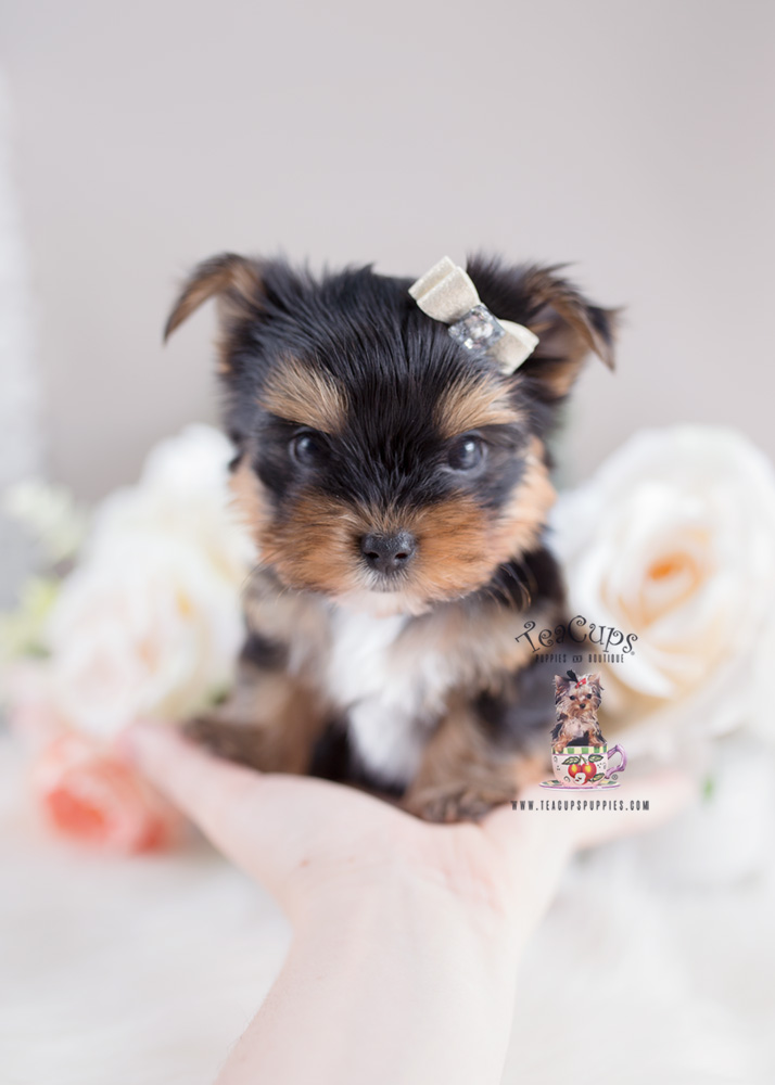 Puppy For Sale Teacup Puppies #168 Yorkie