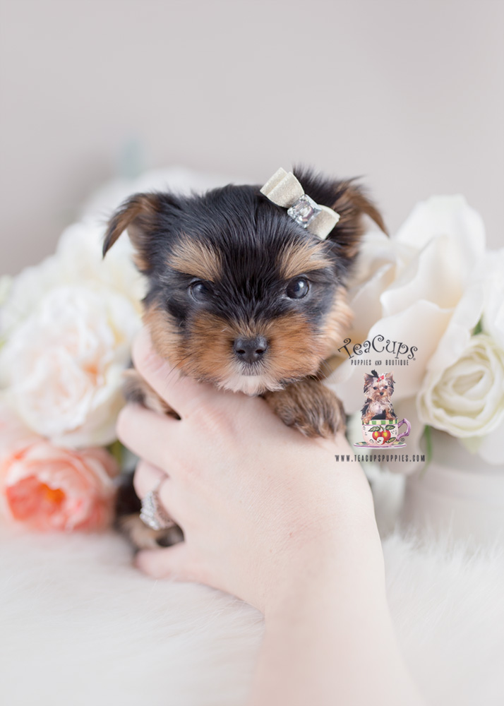 Toy Yorkie Puppy For Sale