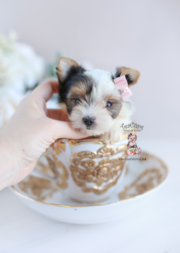 Puppy For Sale Teacup Puppies #206 Biewer Yorkie