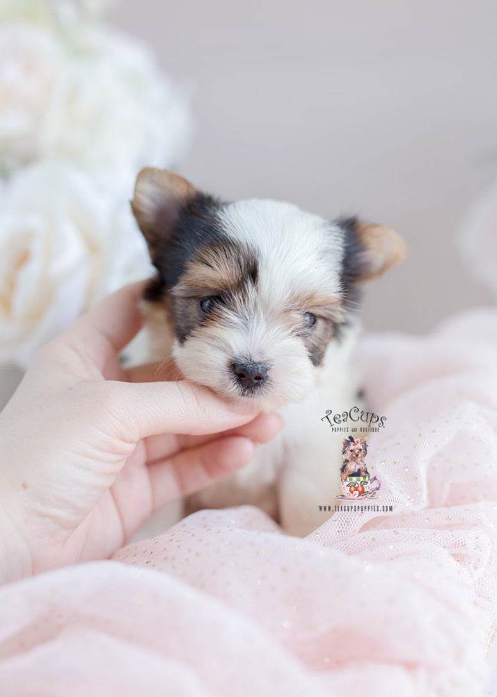 Biewer Yorkie Puppy For Sale Teacup Puppies #206