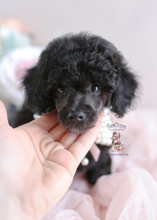 New Arrivals At Teacup Puppies Teacups Puppies Amp Boutique