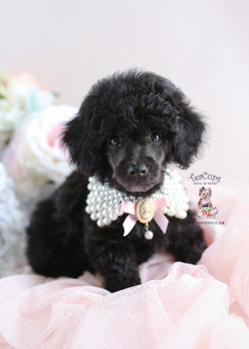 Poodle Puppy for sale Teacup Puppies #193 Black Toy
