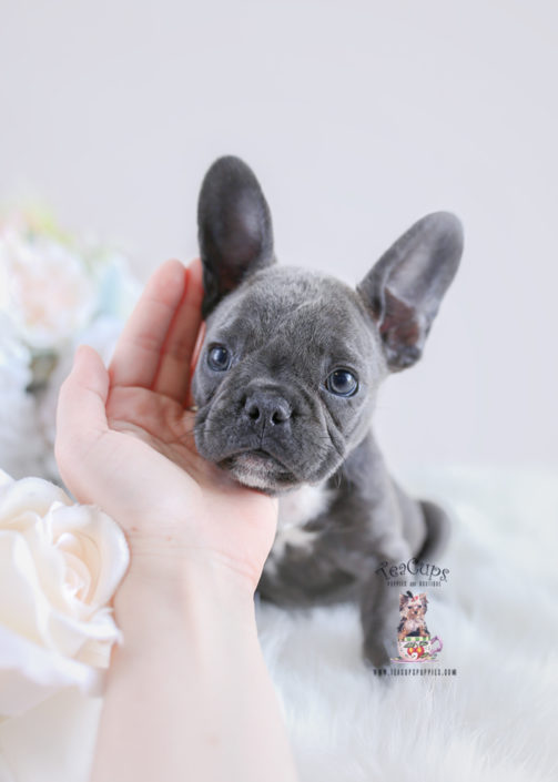Bulldog puppy for sale teacup Puppies #178 Blue Frenchie