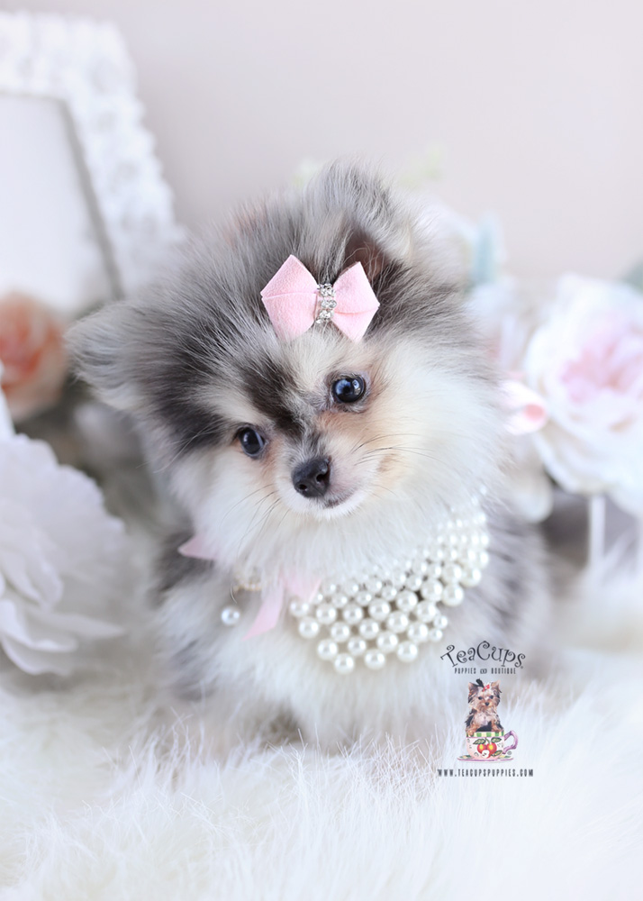 Pomeranian Puppy For Sale Teacup Puppies #179 Blue Merle