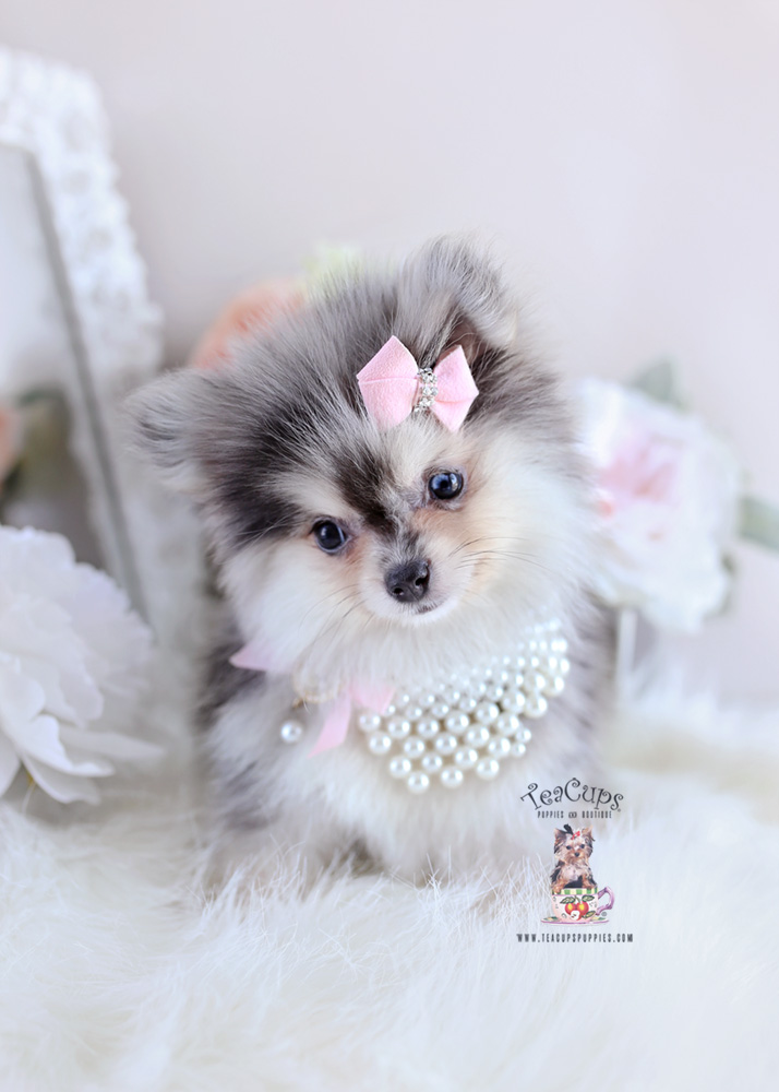 Pomeranian Puppies For Teacups
