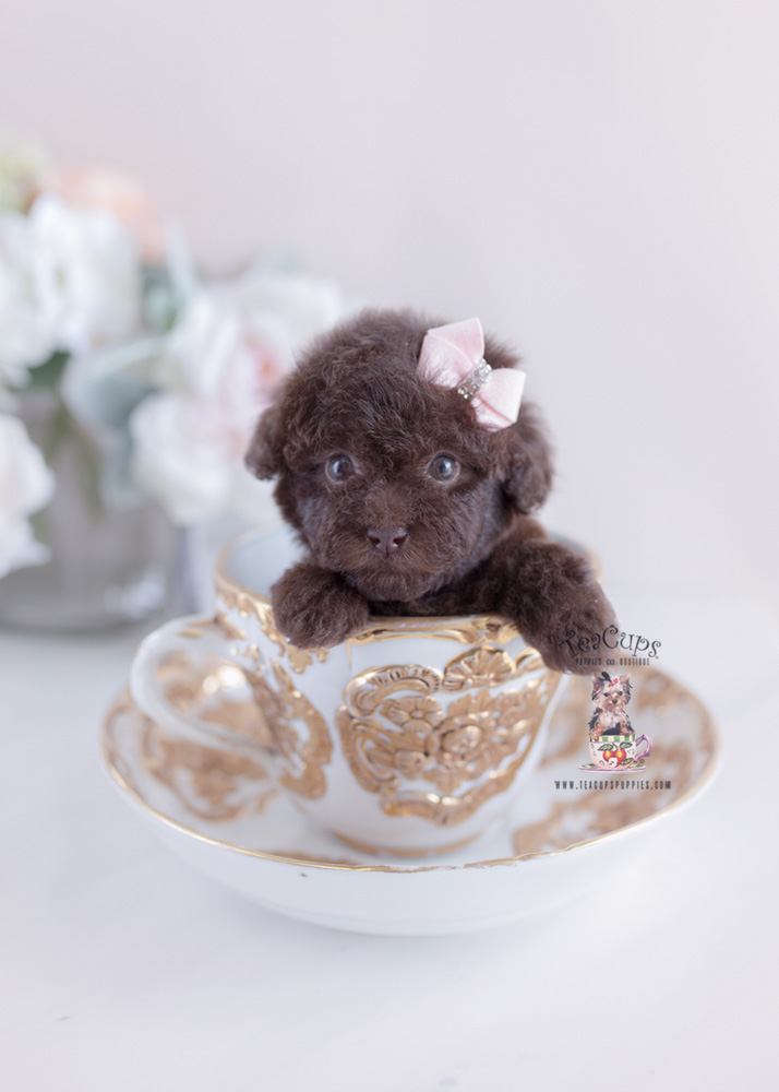 Poodle Puppy For Sale Teacup Puppies #182 Chocolate