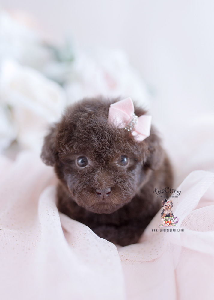 Chocolate Poodle Puppy For Sale Teacup Puppies #182