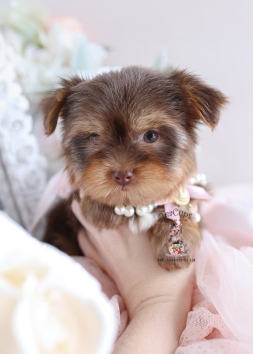 Puppy For Sale Teacup Puppies #199 Chocolate Yorkies South Florida
