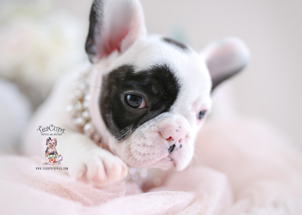 French Bulldog For Sale #194 Female