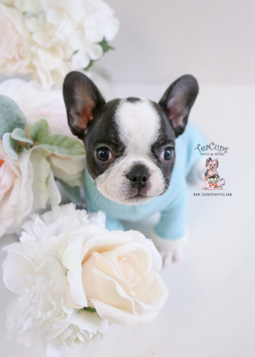 Puppy For Sale Teacup Puppies #195 Frenchie Bulldog