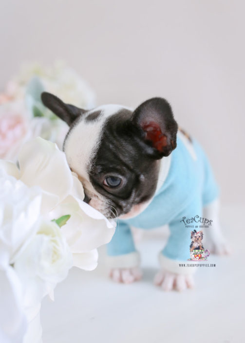 Frenchie Bulldog Puppy For Sale Teacup Puppies #195