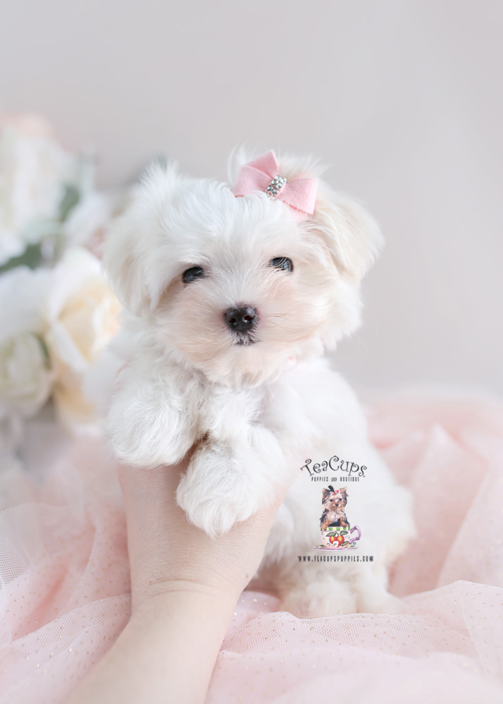 Puppy For Sale Teacup Puppies #181 Maltese