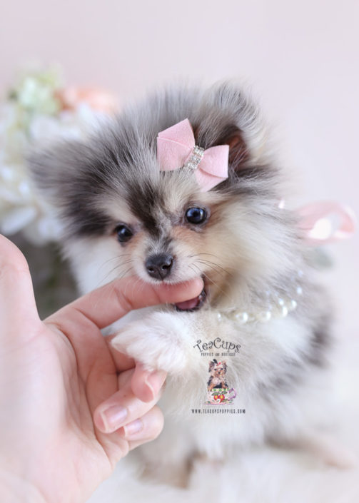 Blue Merle Pomeranian Puppy For Sale Teacup Puppies #179