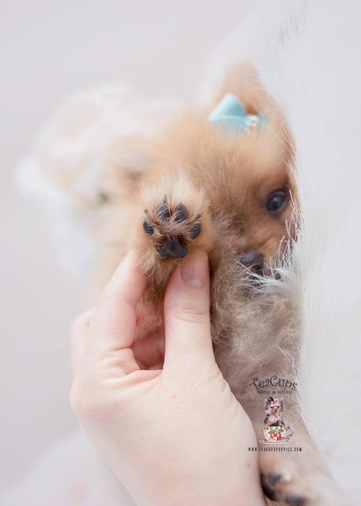 Pomeranian Puppy for sale Teacup Puppies #186 Orange Sable