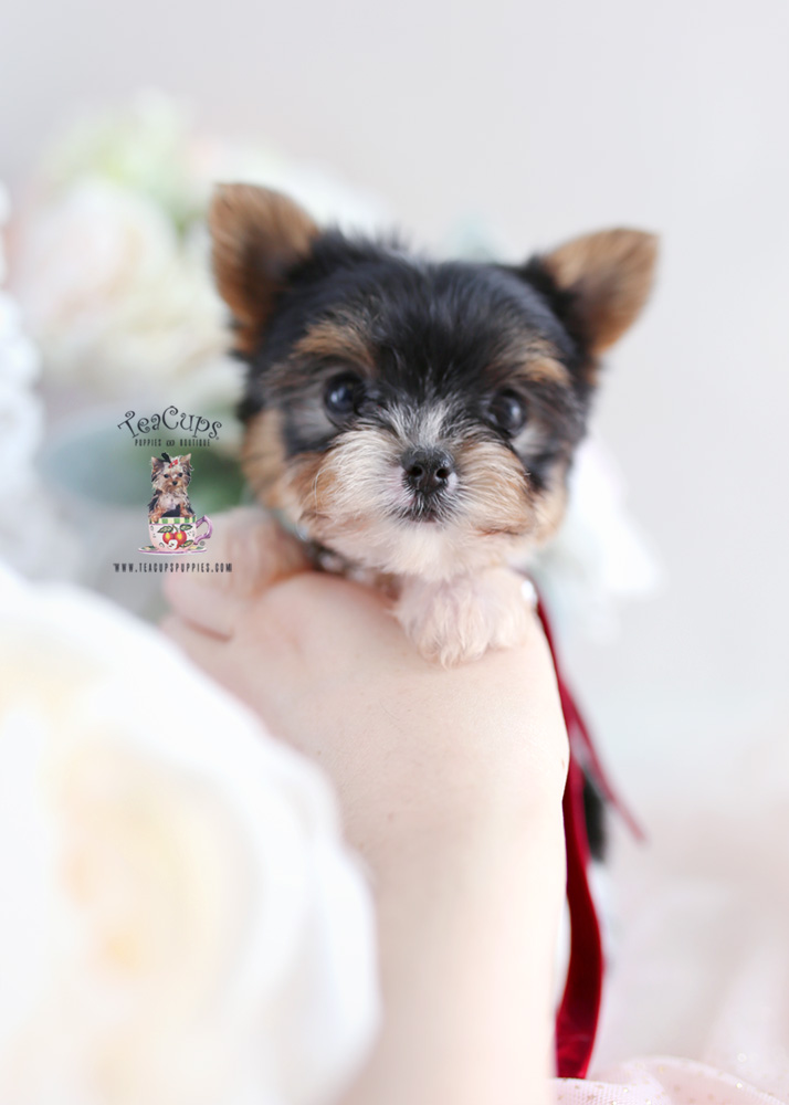 For Sale Teacups Puppies #201 Parti Yorkie Puppy
