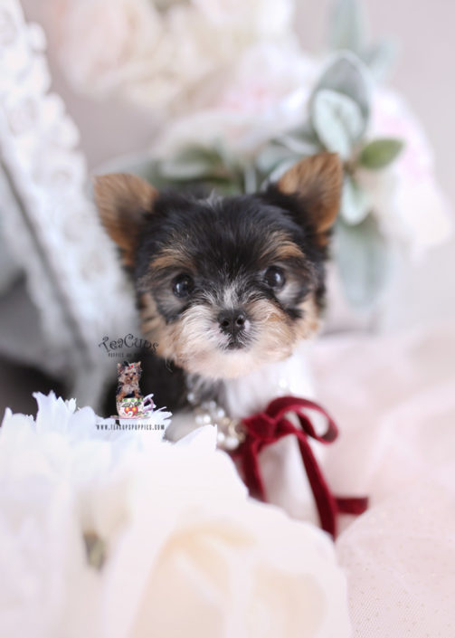 Yorkie Puppy For Sale Teacups Puppies #201 Parti