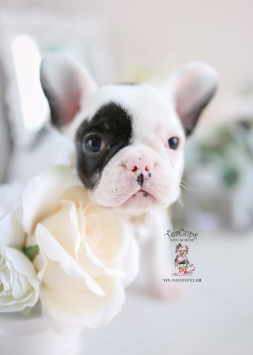 French Bulldog Teacup Puppies Goldenacresdogscom