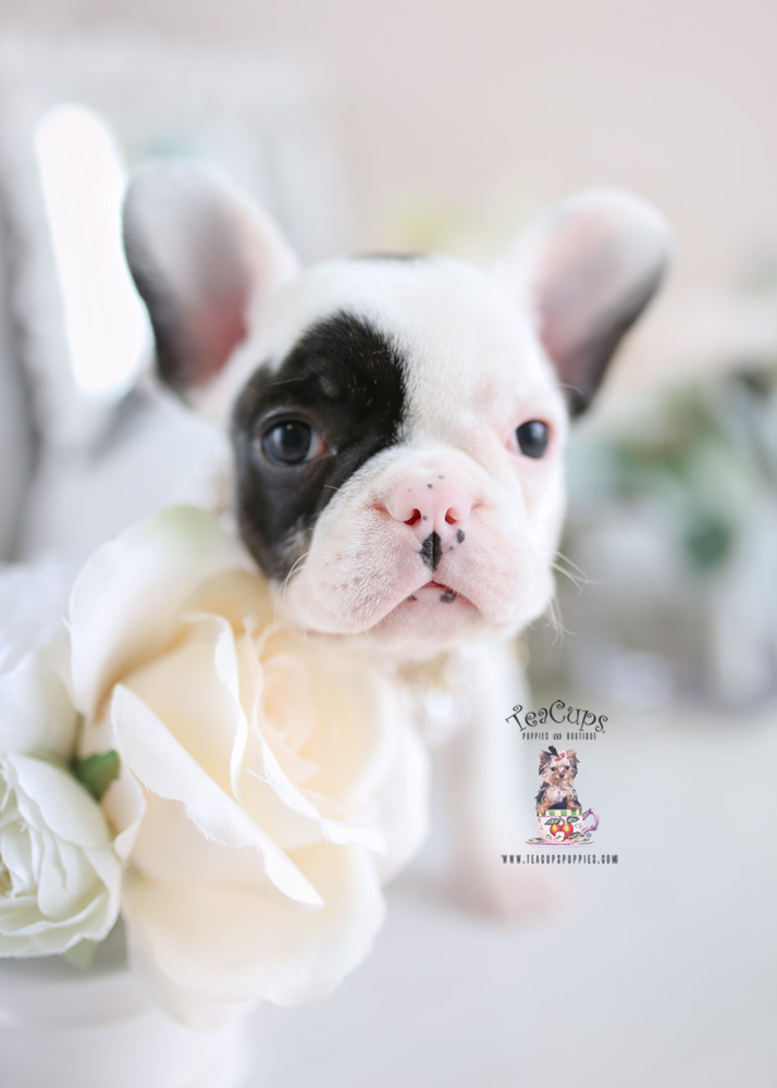 French Bulldog Puppy- For Sale Teacup Puppies #194 Pied