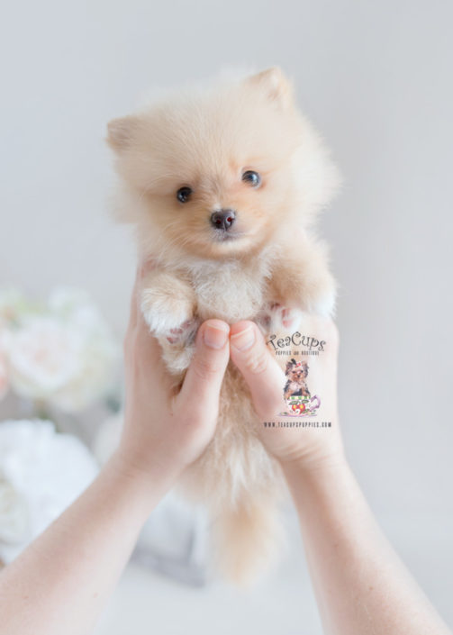 Pomeranian Puppy For Sale Teacup Puppies #169