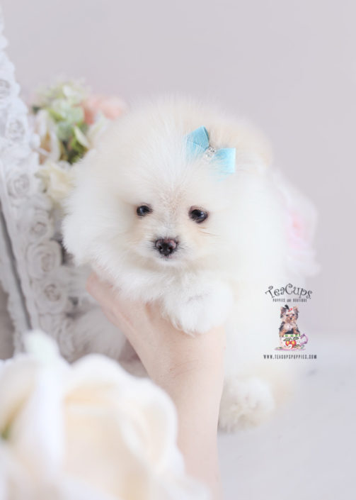 For Sale Teacup Puppies #187 White Pomeranian Puppy