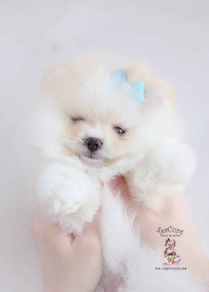 Puppy For Sale Teacup Puppies #187 White Pomeranian