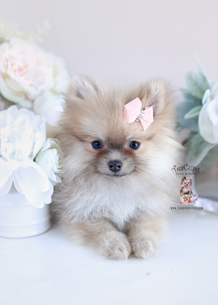 Puppy For Sale Teacup Puppies #204 Pomeranian