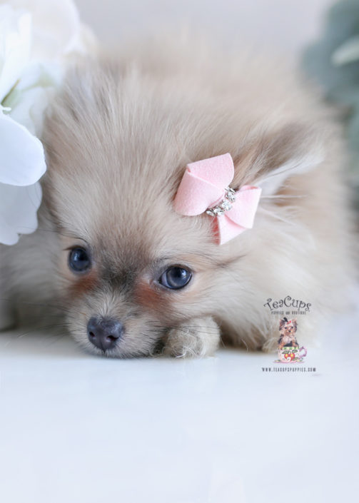 Pomeranian Puppy For Sale Teacup Puppies #204