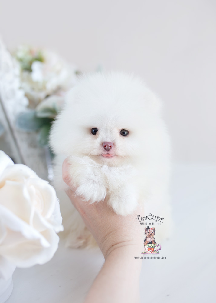 Puppy For Sale Teacup Puppies #207 Pomeranian