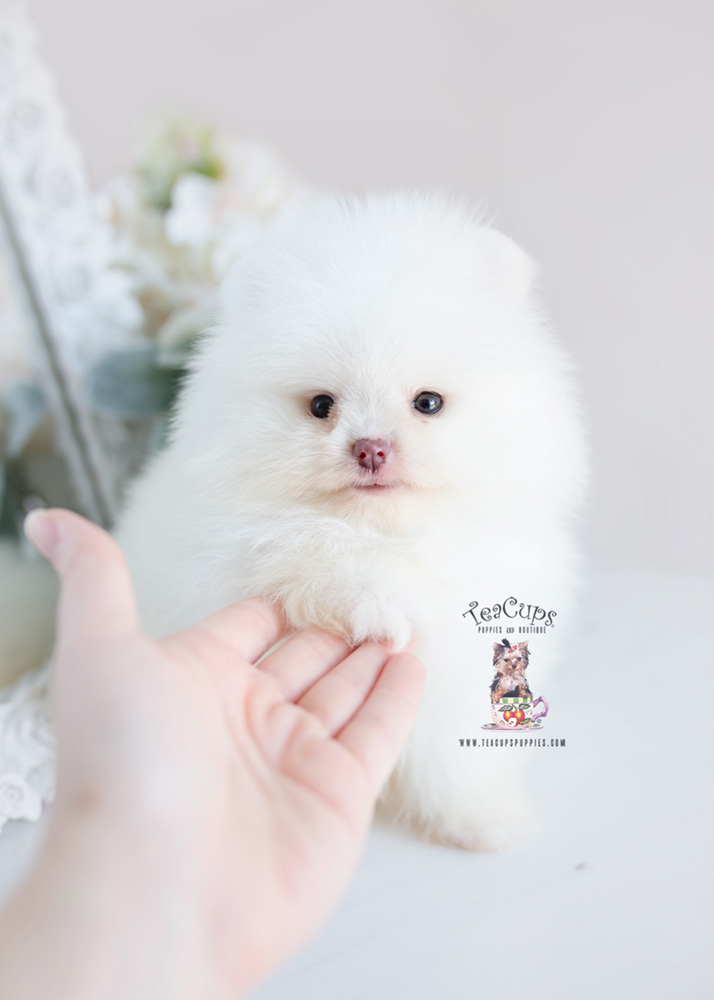 For Sale Teacup Puppies #207 Pomeranian Puppy