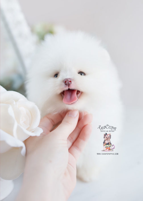 Pomeranian Puppy For Sale Teacup Puppies #207