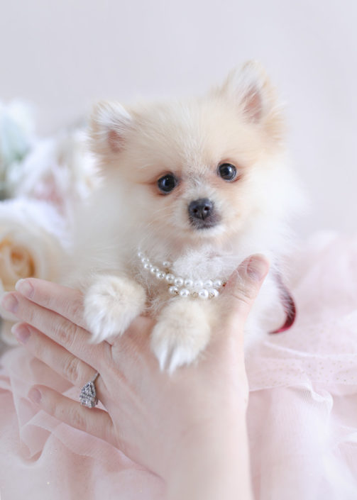 cheap teacup pomeranian tiny teacup pomeranian puppies teacups puppies boutique 5034
