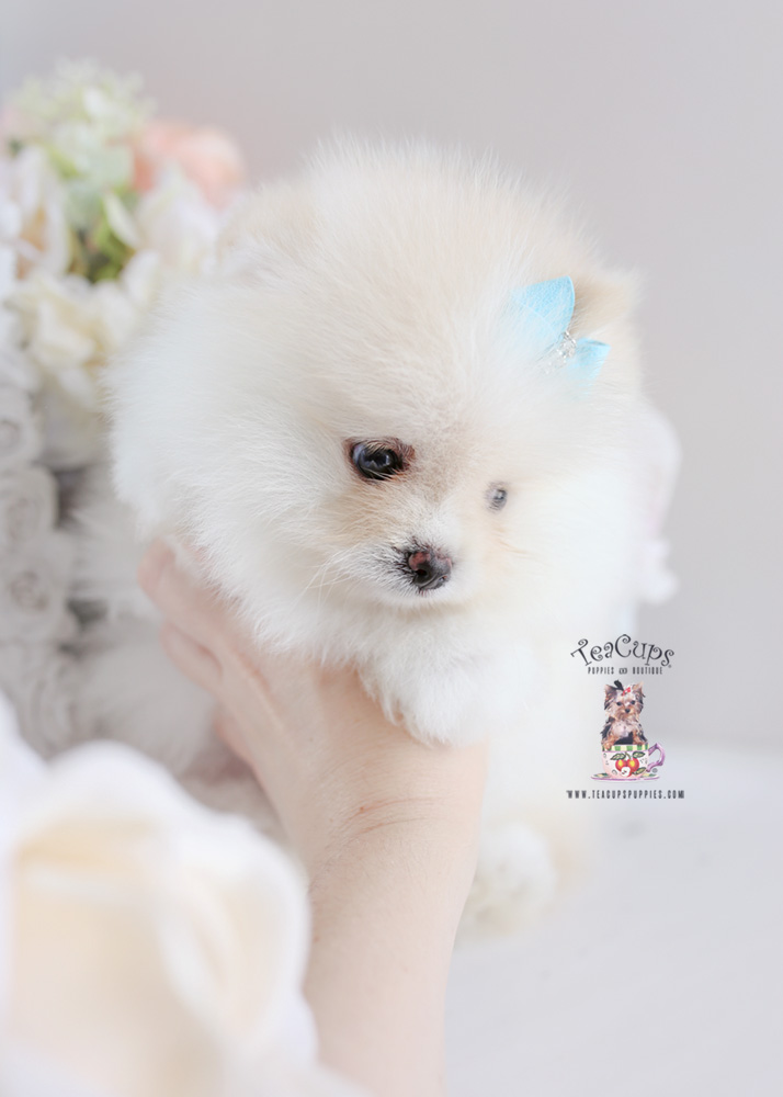 White Pomeranian Puppy For Sale Teacup Puppies #187