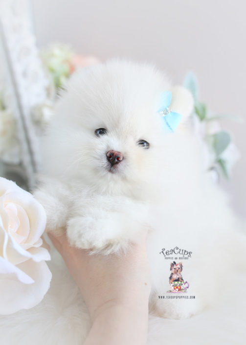 For Sale Teacup Puppies #188 White Pomeranian Puppy