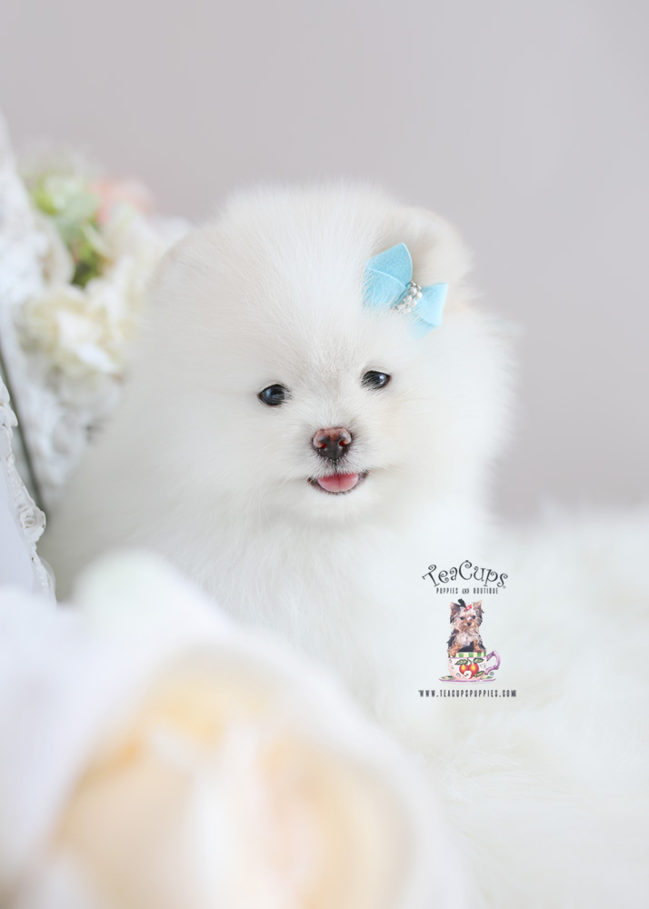 Snow White Pomeranian Puppies Teacup Puppies Amp Boutique