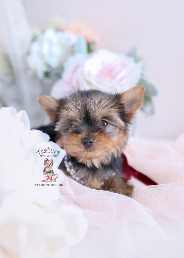 Yorkie Puppy For Sale #172 Teacup Puppies