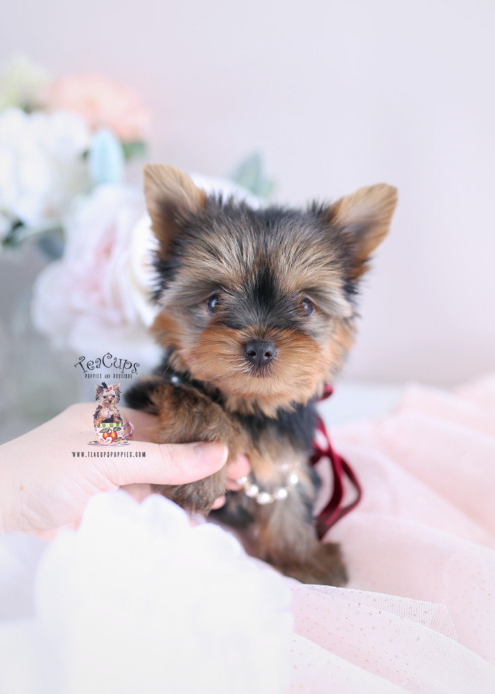 Puppy For Sale #172 Teacup Puppies Yorkie