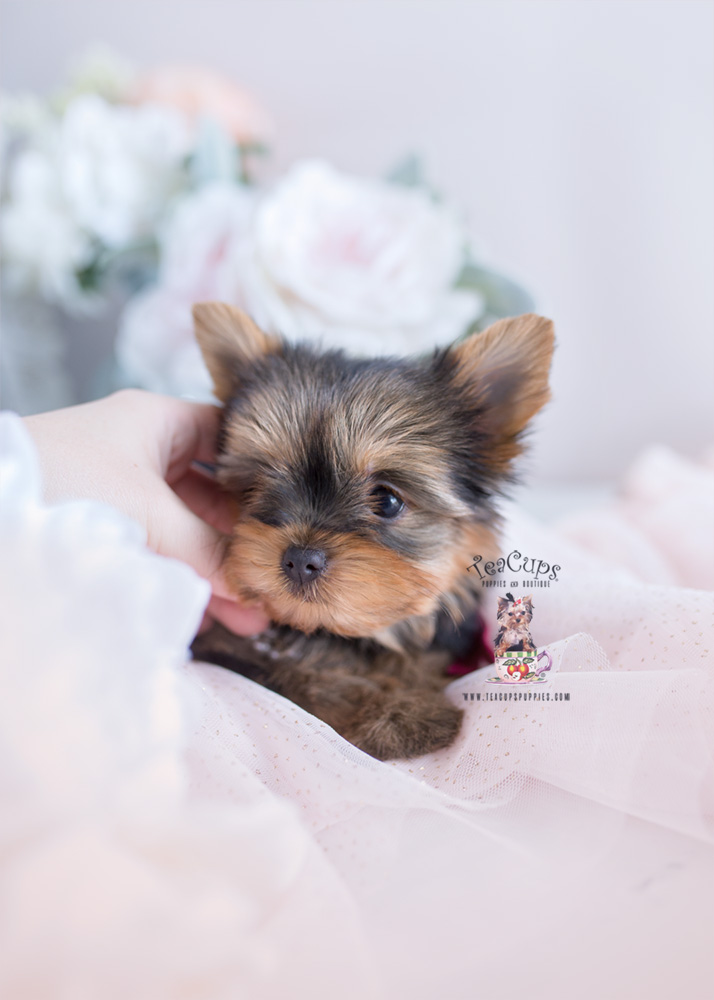 Puppy For Sale Teacup Puppies #172 Yorkie