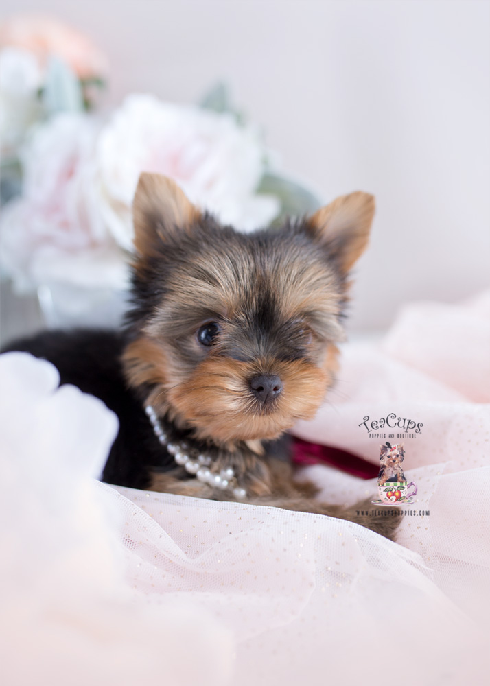 Yorkie Puppy For Sale Teacup Puppies #172