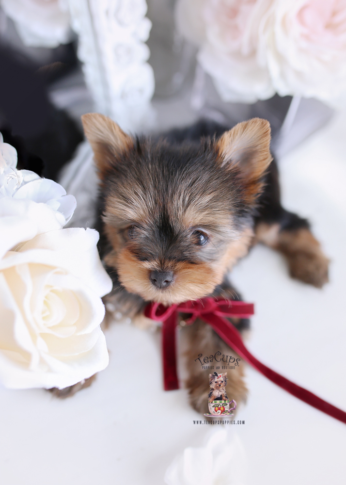 For Sale #172 Teacup Puppies Yorkie Puppy